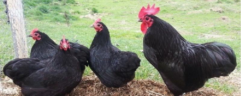 شناخت نژاد مرغ های تخم گذار