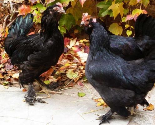 مشخصات ظاهری مرغ تخم گذار