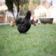 گوشت مرغ سیاه منبع آنتی اکسیدان